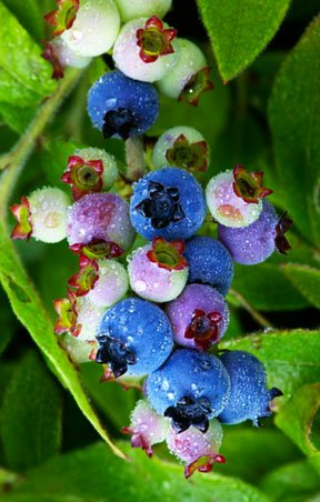 U-pick Blueberries in Olinda Dandenong Ranges